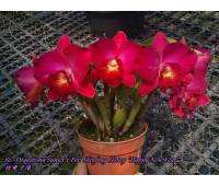 "Sophrolaeliocattleya Dogashima Sunset x Potinara Shinfong Honey ""Happy New Year"""