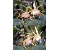 Dendrobium aberrans x tetragonum