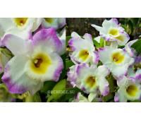 Dendrobium Angel Moon Love Letter
