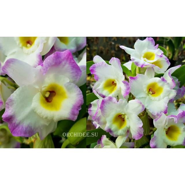 Dendrobium Angel Moon Love Letter