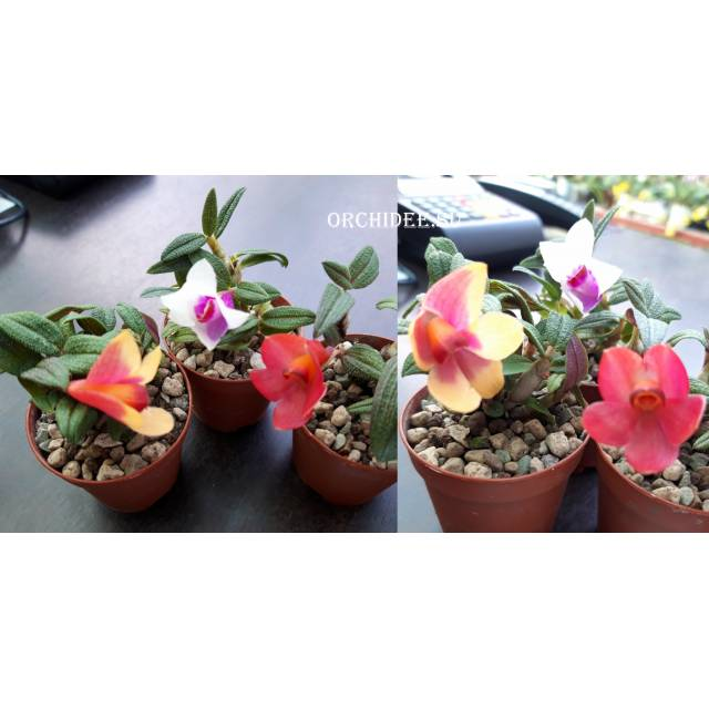 Dendrobium cuthbertsonii x sulawesii