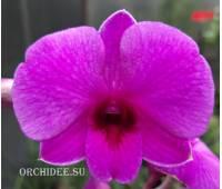 Dendrobium Pink ThaiI Girl