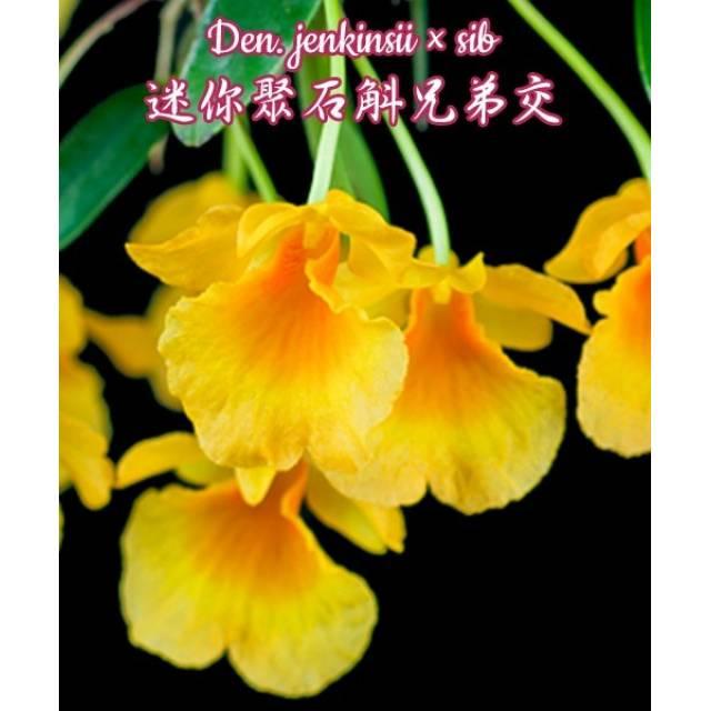 Dendrobium jenkinsii x sib