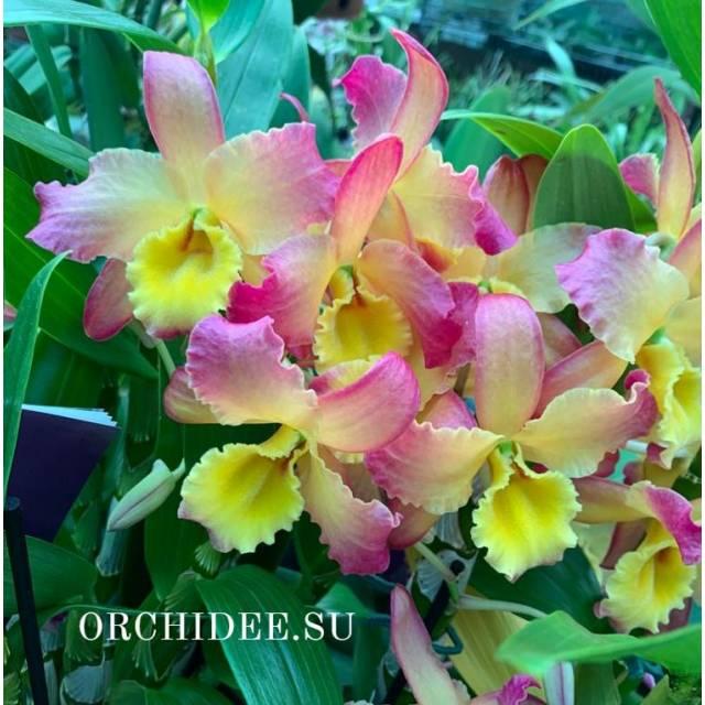 Dendrobium Oriental Smile