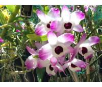 Dendrobium nobile 'Dark Eye'