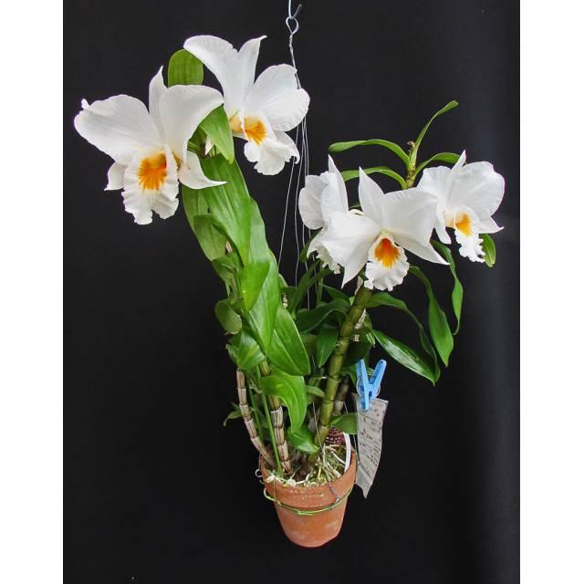 Dendrobium Formidible