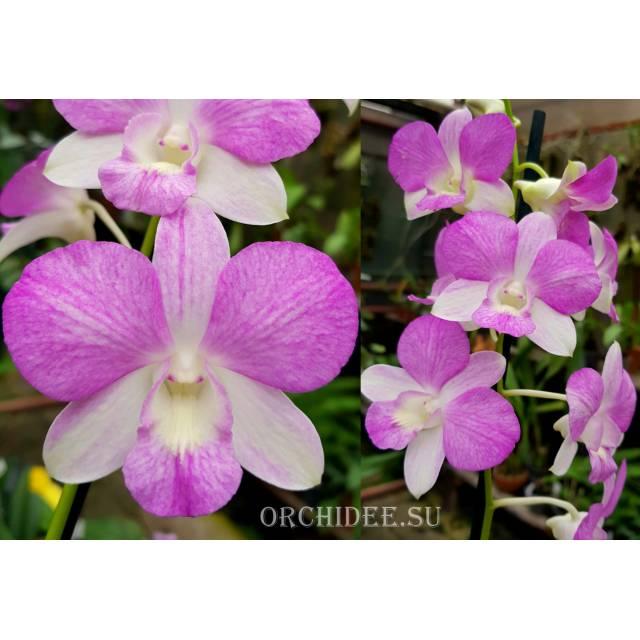 Dendrobium hybrid 01