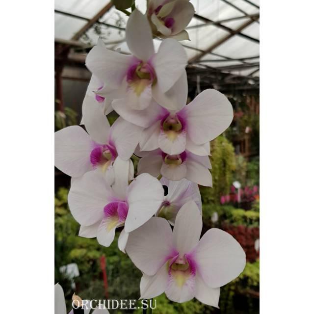 Dendrobium hybrid 02