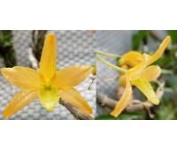 Dendrobium hybrid 03