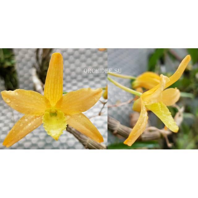 Dendrobium scabrilingue x unicum