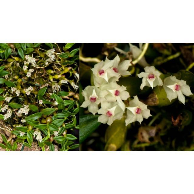 Dendrobium parvulum white