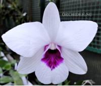 Dendrobium Purple Eye