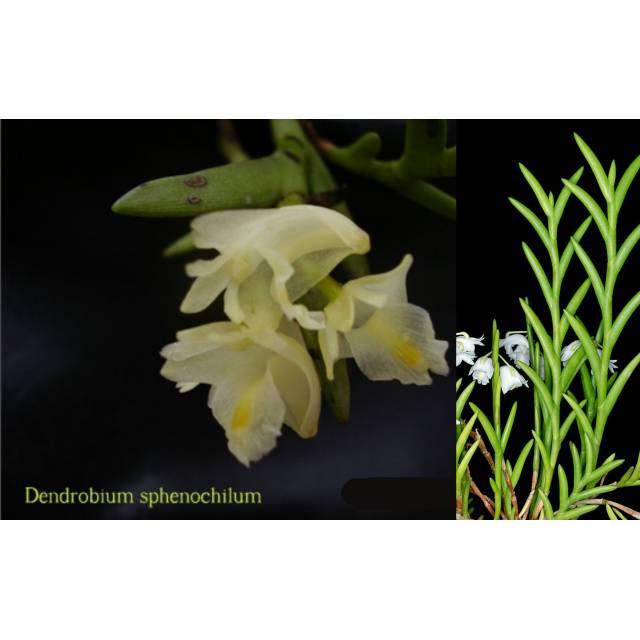 Dendrobium sphenochilum