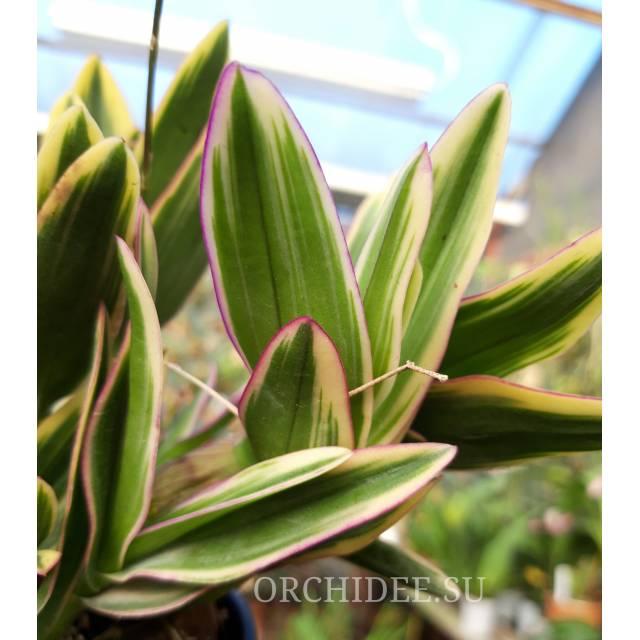 Dendrobium phalaenopsis 'Mini Variegata'
