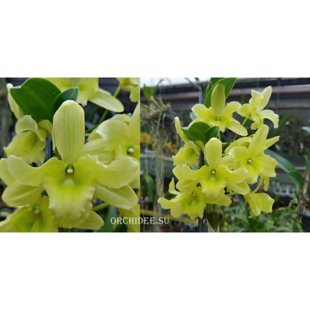 Dendrobium Green Surprise 'Windy'
