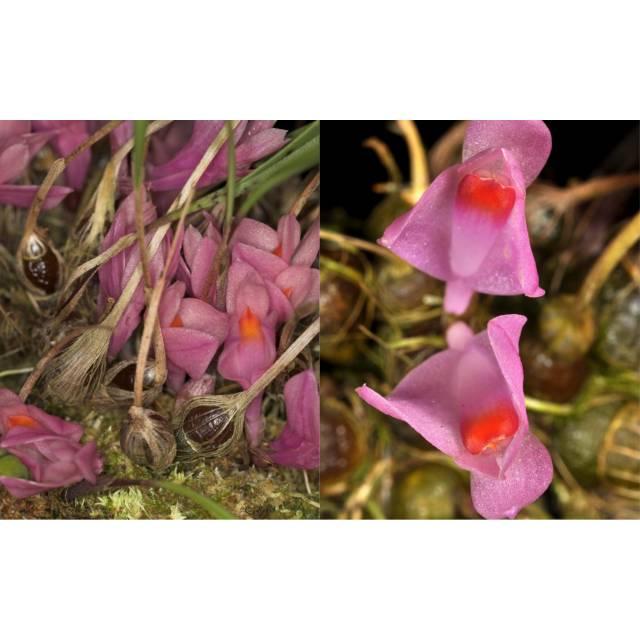 Dendrobium brassii