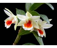 Dendrobium Dawn Marie