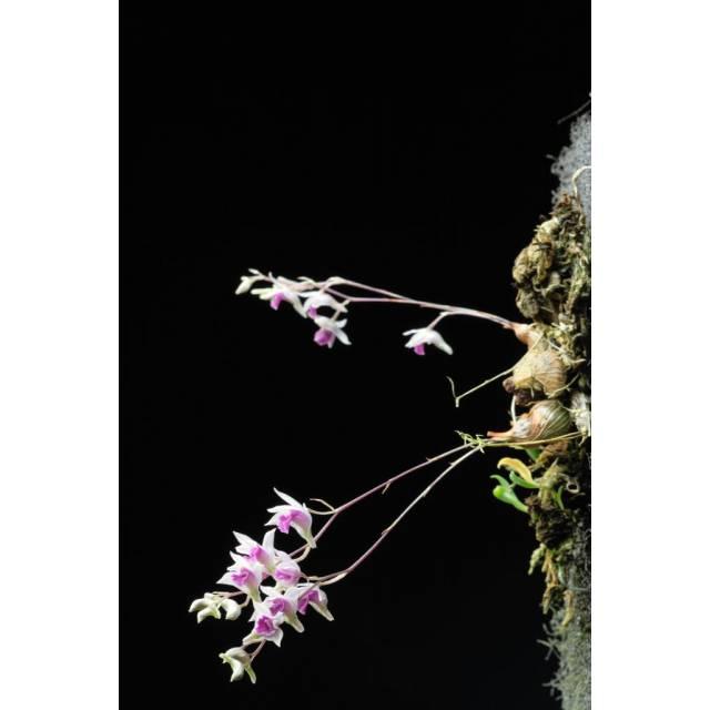 Dendrobium elliotianum