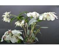 Dendrobium eximium x rhodostictum