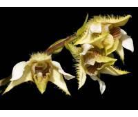 Dendrobium setigerum