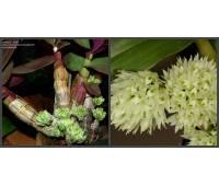 Dendrobium capituliflorum