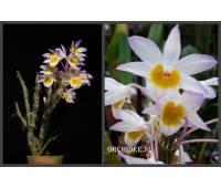 Dendrobium crepidatum