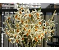 Dendrobium heterocarpum