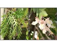 Dendrobium nathanielis