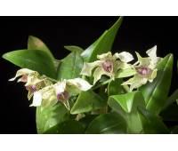 Dendrobium normanbyense