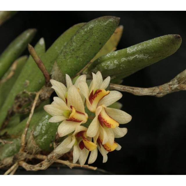 Dendrobium rigidum