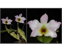 Dendrobium trantuanum