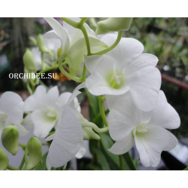 Dendrobium phalaenopsis White mini