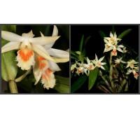 Dendrobium williamsonii