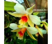 Dendrobium williamsonii