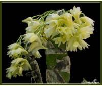 Dendrobium platycaulon