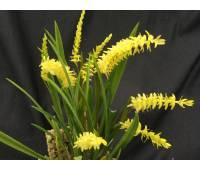 Dendrochilum wenzelii (yellow) × sib