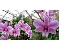 Dendrobium Pink Fantasy