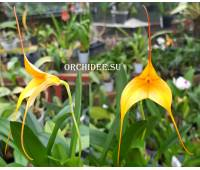 Masdevallia BV Yellow