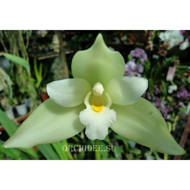 Lycaste Goldberg 9323