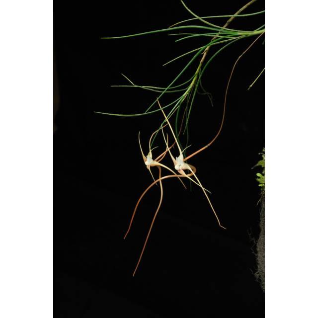 Angraecum teretifolium