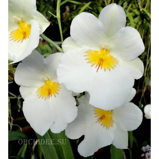 Miltoniopsis Rene Komoda 'White Cloud'