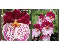 Miltoniopsis Breathless 'Brilliant'