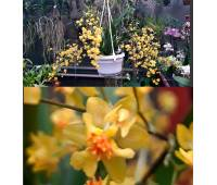 Oncidium Tiny Twinkle 'Golden Fragrance'