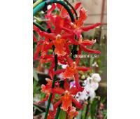Burrageara Stefan Isler x Oncidium schroederianum
