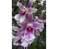 Beallara  Renaissance Violet