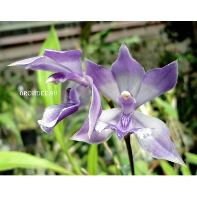 Acacallis cyanea x Zygopetalum Helen Ku
