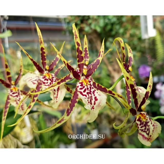 Brassidium hybrid