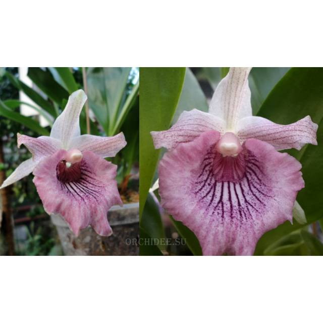Cochleanthes hybrid 02