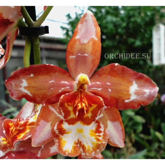 Oncidium hybrid 013