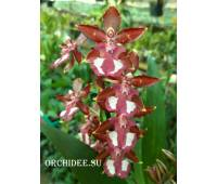 Odontocidium Wildcat 01